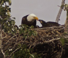 use this for sure--mom feeds fish to three eaglets,0626