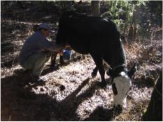 Maureen milking Missy